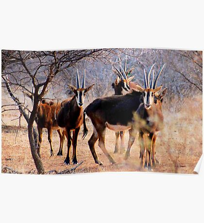 THE SABLE ANTELOPE - Hippotragus niger Poster