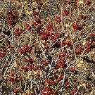 Berries Red by Robert W. Spath II