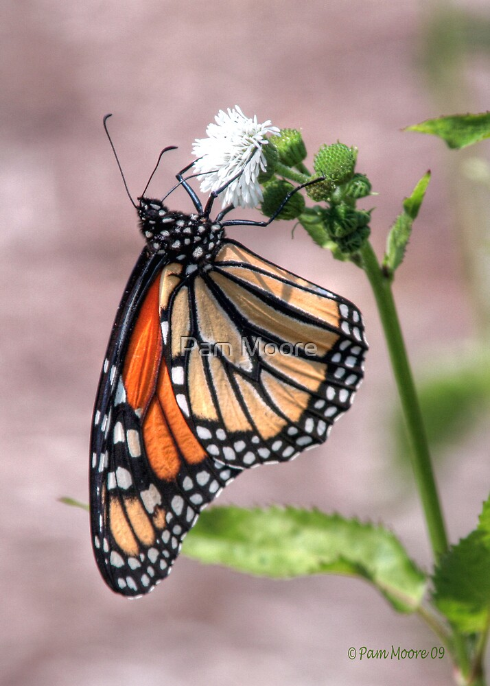 Monarch Butterfly HDR by Pam Moore