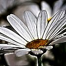 Daisies by Patriciakb