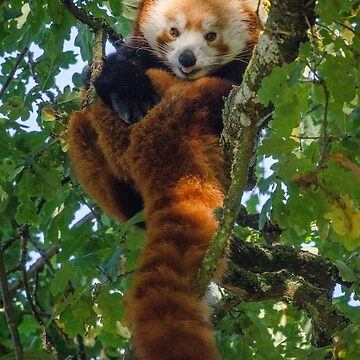 Red panda tongue out in tree by photosbygemmad