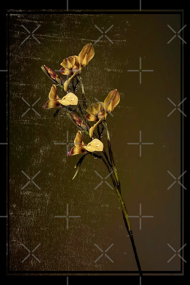 Donkey Orchid by Elaine Teague