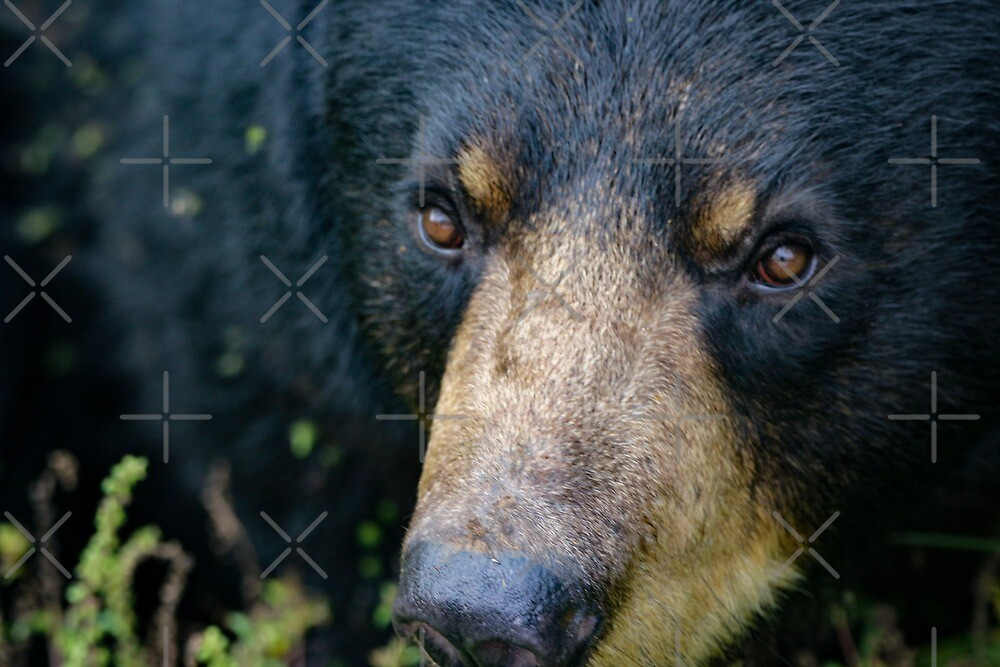 Bear close up by debfaraday