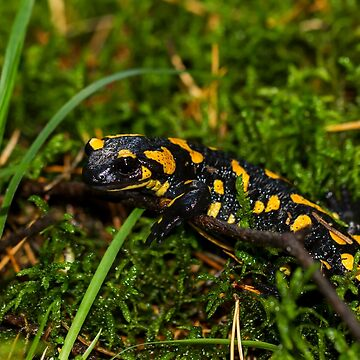 fire Salamander by mdetroit