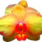 wunderschöne, gelbe Orchidee, Phalaenopsis, Blume, Blüte von rhnaturestyles