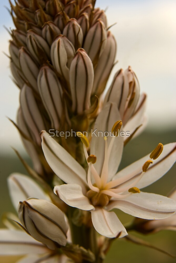 Spanish flower bloom by Stephen Knowles