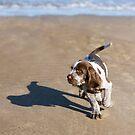 Brown Roan Italian Spinone Puppy Dog Beach Adventure by heidiannemorris