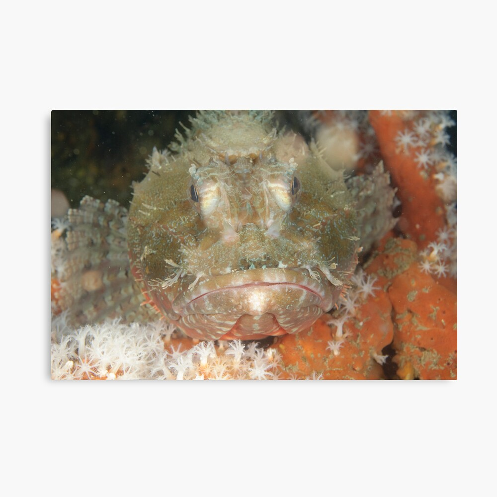 Red Rock Cod Canvas Print