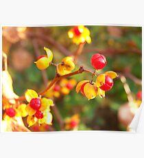 Bittersweet Berries Poster