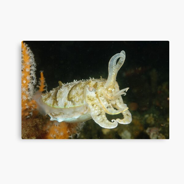 Mourning Cuttlefish - Sepia plangon Canvas Print