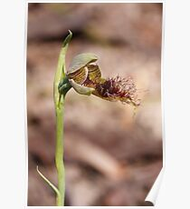 Slender Beard Orchid - Calochilus gracillimus Poster