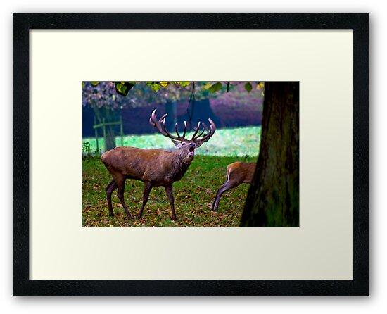 Stag #2   (Red Deer) by Trevor Kersley