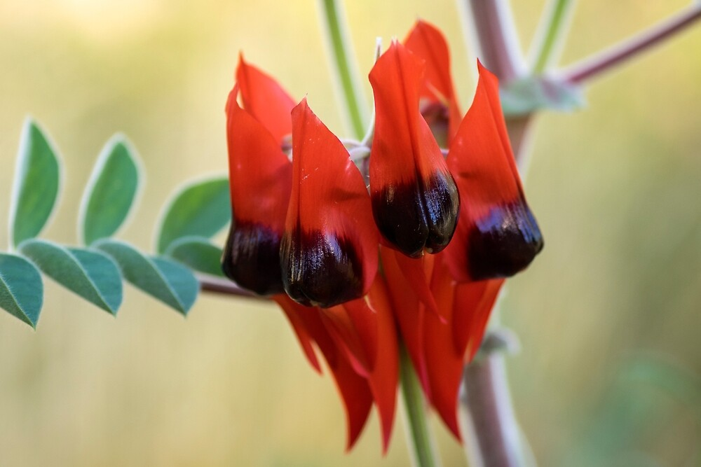 Sturt's Desert Pea, Alice Springs by Andrew Goodall