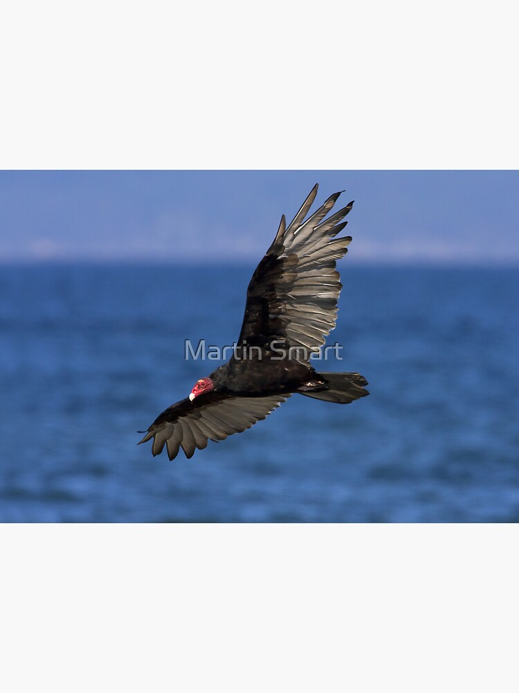 Turkey Vulture by MartinSmart