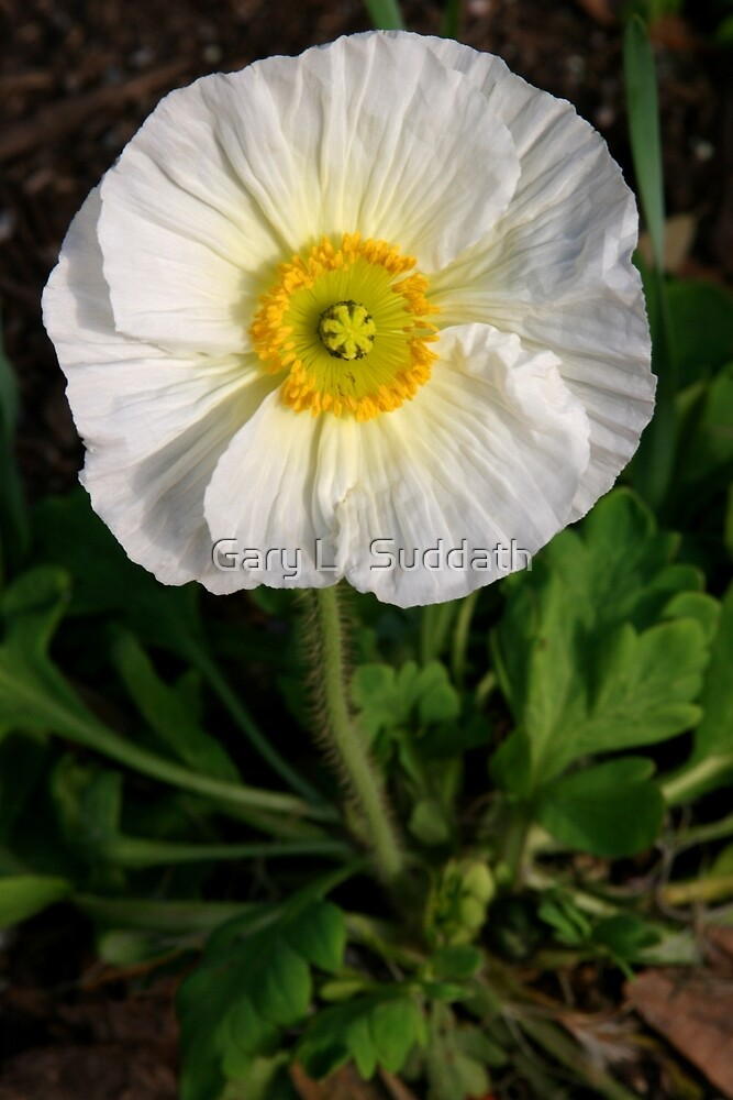White Prickly Poppy by Gary L   Suddath