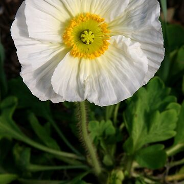 White Prickly Poppy by suddath