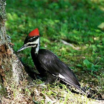 Young Pileated Woodpecker by suddath