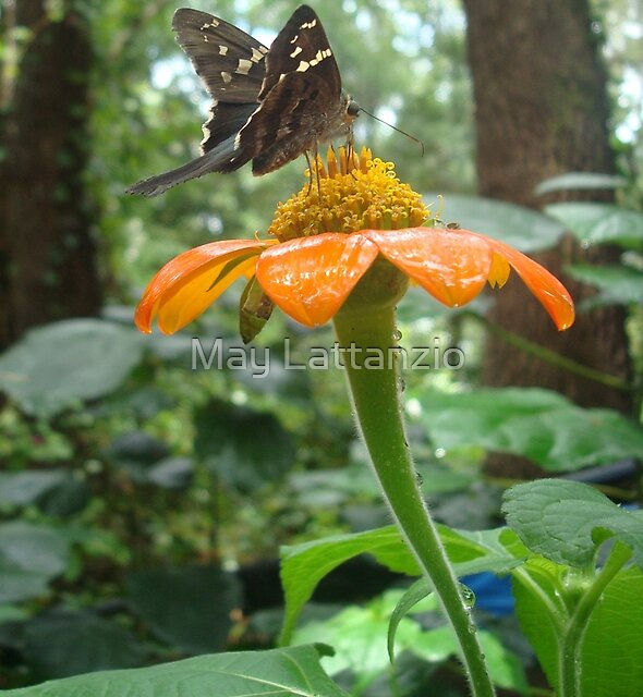Long-tailed Skipper on Mexican Sunflower by May Lattanzio