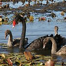 Swans by lulisa