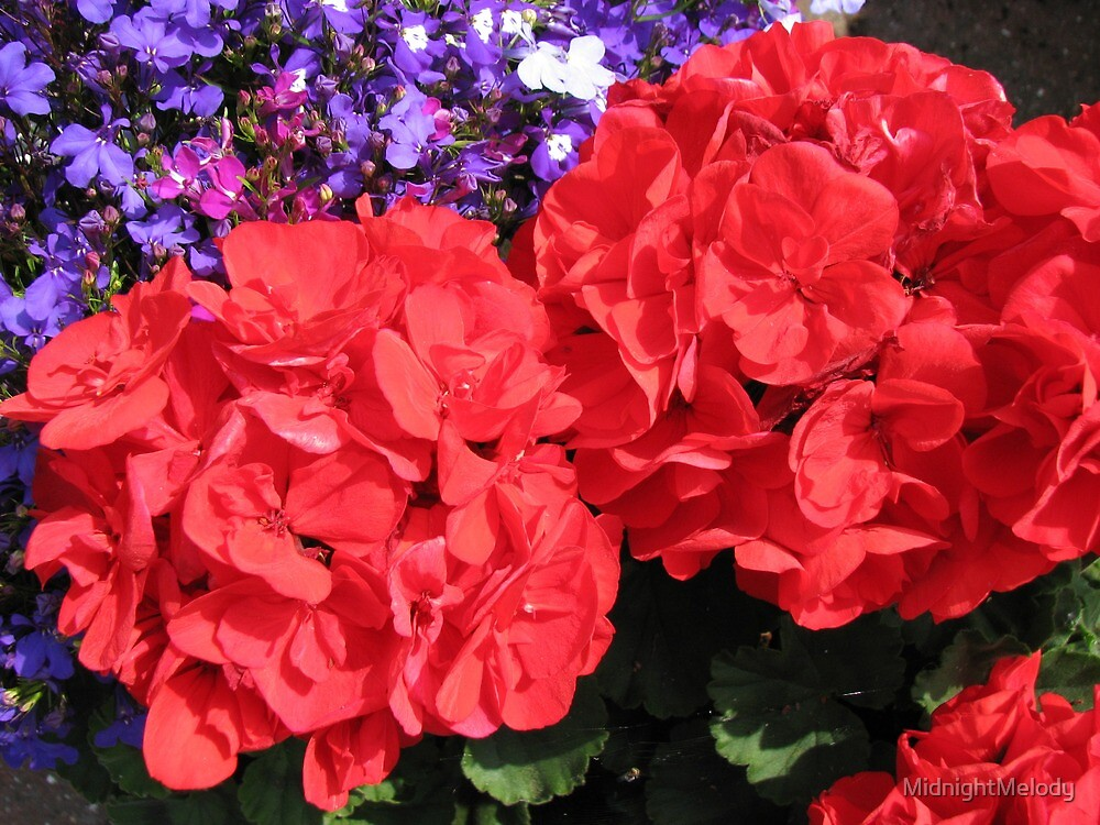 Sisters in Scarlet - Sunlit Red Geraniums by MidnightMelody