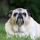 Old Pug by mlorenz