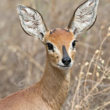 Young Male Steenbok - Up Close by Mytmoss