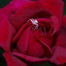 Loving The Rose by laureenr