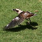 Kookaburra in Lane Cove National Park V by MoonlightJo