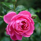 Pink Wild Rose From The Garden by hurmerinta