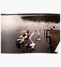 Singing pelicans Poster