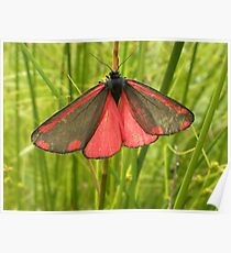 A Cinnabar Moth (Tyria jacobaeae) Poster