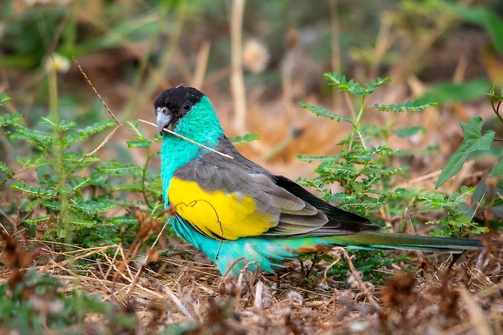 Hooded Parrot, Northern Territory by Andrew Goodall
