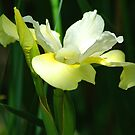 White and Yellow Iris by Terry Krysak