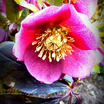 Christmas Rose by angel1