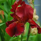 Rusty Red Iris by Terry Krysak