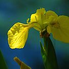 Yellow Iris Between Light & Shadow by Terry Krysak