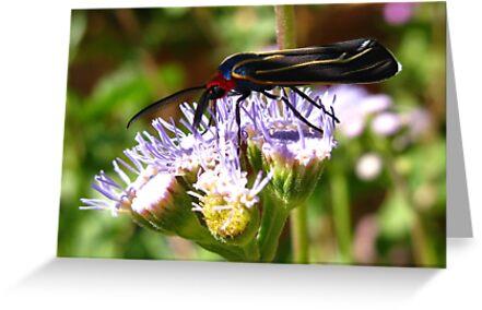 Moth ~ Veined Ctenucha  by Kimberly Chadwick