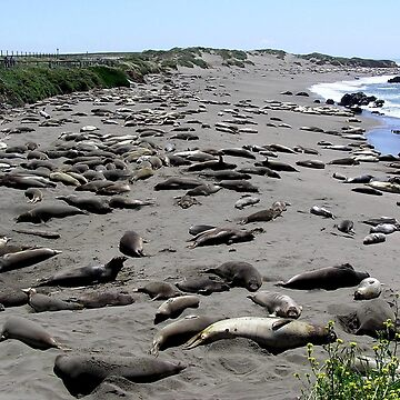 Waiting For The Guys - Piedras Blancas Elephant Seal Rookery, San Simeon, San Luis Obispo County, CA by RKreklow