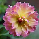 A closeup of a pink and yellow Dahlia by ikshvaku