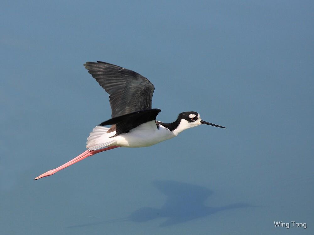 Black-necked Stilt in Flight by Wing Tong
