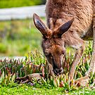 Innes Roo by indiafrank