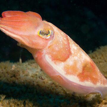 Reaper Cuttlefish, Sydney Harbour by eschlogl