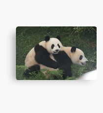 Cute and Cuddly Pandas, China. Canvas Print