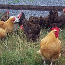 A brood of hens by susanmcm