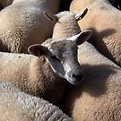 Penned sheep by susanmcm