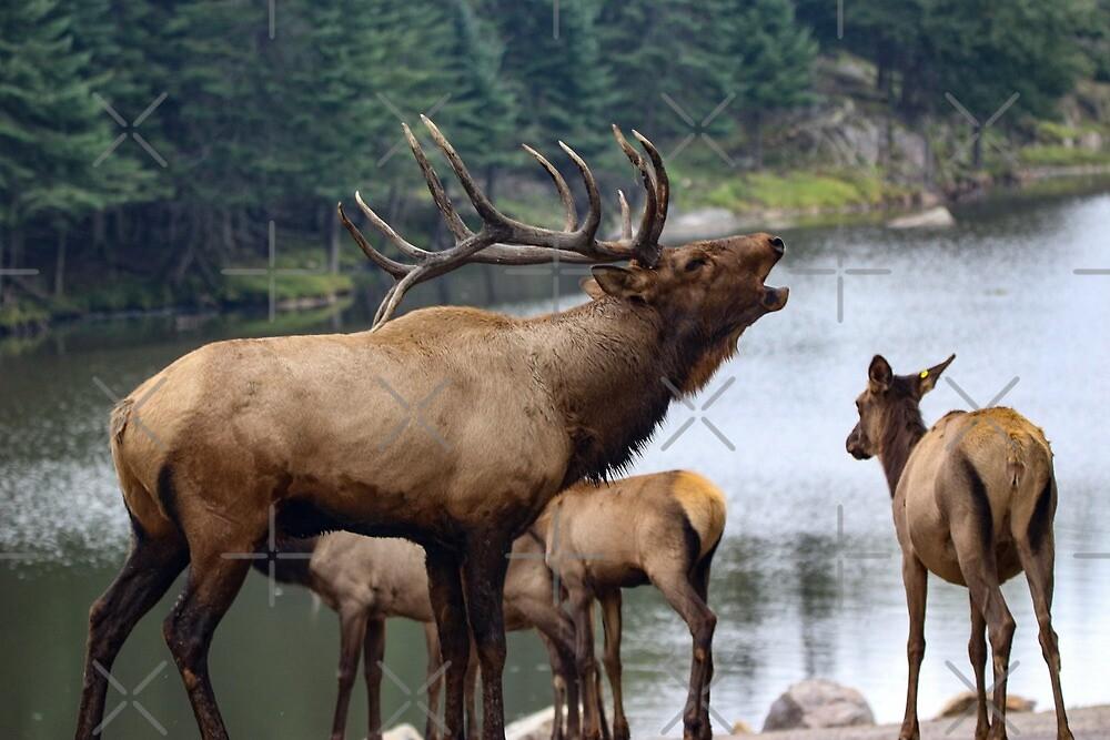 Elk Family by debfaraday