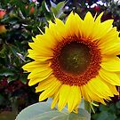 Sunflower In Bloom by mcworldent