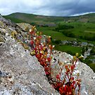 Rock Plant - The Beauty Of Nature - Pevril Castle, Castleton, Hope Valley, Derbyshire Peak District  by mcworldent