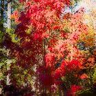 Mountain Ash [Sorbus] by Yukondick