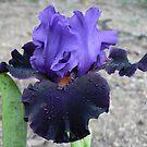"""Bearded Iris - """"Wild Wings"""" by louisegreen"""